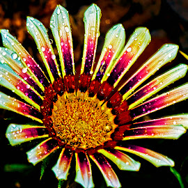 Developing gazania by David Winchester - Flowers Single Flower
