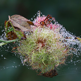 Robin's Pincushion Gall by Chrissie Barrow - Nature Up Close Other Natural Objects ( water, gall, macro, red, pincushion, robin's, green, drops, web, bokeh )