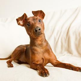 Miniature Pinscher by Oktatam Fargotof - Animals - Dogs Portraits ( dog, miniature pinscher )