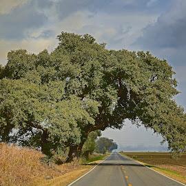 Louisiana Live Oak tree by Ron Olivier - Landscapes Prairies, Meadows & Fields ( louisiana live oak tree )