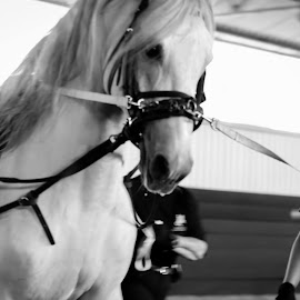 Lipizzaner training by Marcello Saladino - Sports & Fitness Other Sports