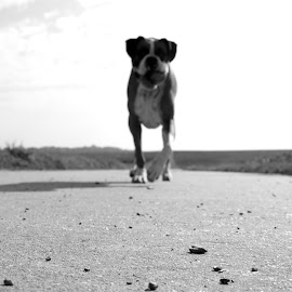 Trotting down a country road by Liz Childs - Animals - Dogs Running ( field, boxer, play, germany, dog )