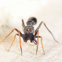 Black Ant mimic spider Male