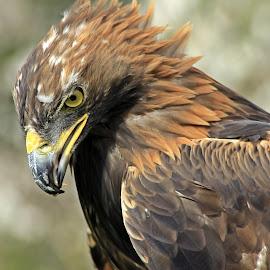 Golden Eagle by Jason Davies - Animals Birds ( bird, perched, eagle, nature, golden, portrait )