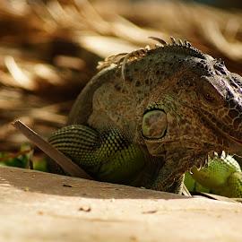 IGUANA by Kim Pot - Animals Reptiles