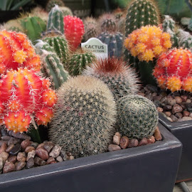 Collection of cacti by Donna Probasco - Novices Only Flowers & Plants (  )