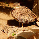 Eurasian stone-curlew (adults)