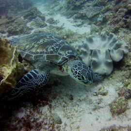 Green Turtle, Garden Route, 2 Mile Reef, Sodwana by Dawid Van Der Merwe - Animals Sea Creatures ( green turtle, garden route, 2 mile reef, sodwana )