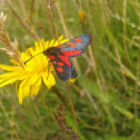 Six-spotted Burnet Moth