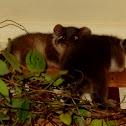Ringtail possum babies