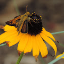 Sachem Skipper (male)
