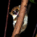 Tiny mouse lemur