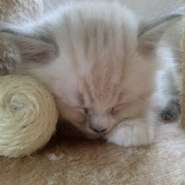 Playing wears me out by Lyz Amer - Animals - Cats Kittens ( kitten )