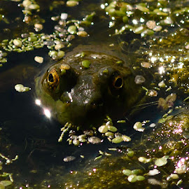 Got My Eyes On You by Tristan Boeckman - Animals Amphibians ( frog, green, close up, eyes, river )