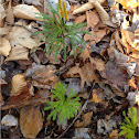 Princess Pine (Club Moss)