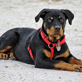Rottweiler puppy on the beach by Sandy Scott - Animals - Dogs Puppies ( canine, dogs, rottweiler dog, pets, puppy, puppy portrait,  )