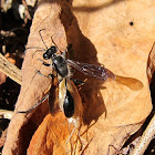 Grass-carrier Wasp