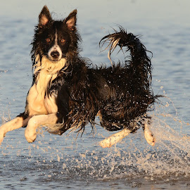 Who said 'Cheese'? by Gareth Evans - Animals - Dogs Playing ( water, collie, dog,  )
