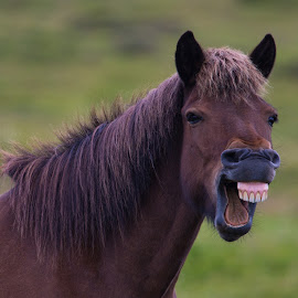 Horsing Around by Bill Kuhn - Animals Horses ( laughing, horse )