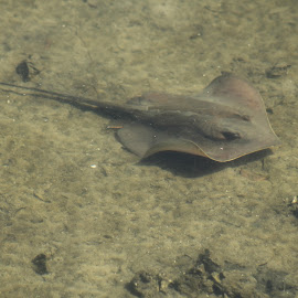 Sting Ray by Lisa Cozene - Animals Sea Creatures