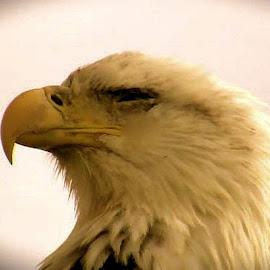 Eagle by Jim Dicken - Novices Only Wildlife ( alaska eagle, american eagle, noble bird, bald eagle, national bird, american bald eagle,  )