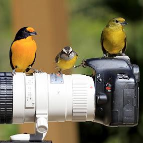 Three Birds!  by Itamar Campos - Animals Birds ( morretes, bananaquit, cambacica, gaturamo verdadeiro )