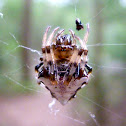 Triangulate orb-weaver spider