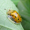 Spotted Tortoise Yellow Beetle