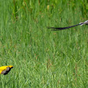 Yellow-crowned bishop and Pin-tailed whydah fighting