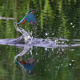 Kingfisher by Simon Hutchinson - Animals Birds (  )