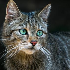 by Renos Hadjikyriacou - Animals - Cats Portraits (  )