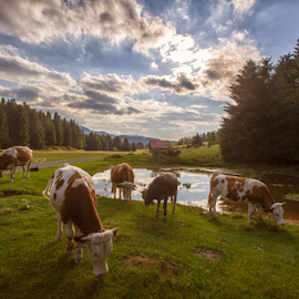Cows at the mountain pond by Stanislav Horacek - Landscapes Prairies, Meadows & Fields