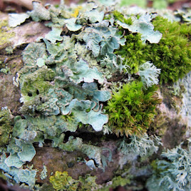 Lichen & mosses  by Julie Kendall - Nature Up Close Mushrooms & Fungi ( ireland, fungi, cork, green, moss, twig, algae, lichen )
