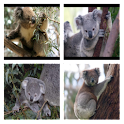 Koala Bear Live Wallpaper icon