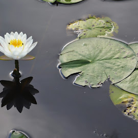 water lily reflection by Teri Shearer-Buczkowske - Novices Only Flowers & Plants