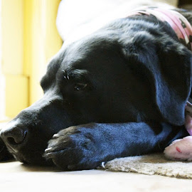 Mocha pouting by Robert Reninger - Animals - Dogs Portraits ( natural light, dog portrait )