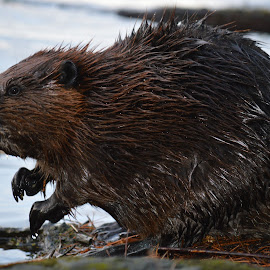Beaver by Thomas Latham - Animals Other ( cool, water, beaver, brown, lake, wet,  )