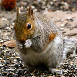 Sunday Morning Visitor by Brian Shoemaker - Novices Only Wildlife ( birdfeeder, backyard, visitor, squirrel, feeder )