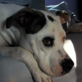 Good morning by Evah Banova - Animals - Dogs Portraits ( pitbull, bed, dog, morning, portrait, sun,  )
