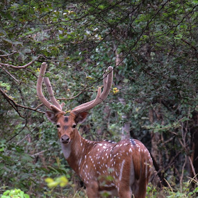 Deer Looks Fear by Rahul Savaliya - Animals Other ( look, new, gujarat, nature, color, rahul, india, forest, gir, latest, animal, deer )