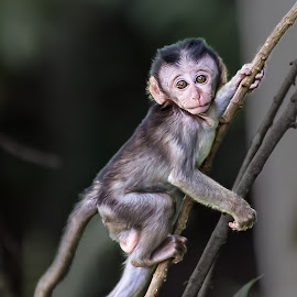 Little Monkey by Ko Naing - Animals Other Mammals