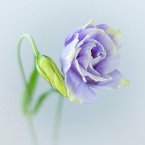 Soft focus by Eva Krejci - Flowers Single Flower ( .green bud.lilac color.soft background. )