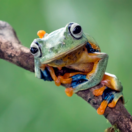 What are you looking by Kurito Afsheen - Animals Amphibians ( canon, animals, macro photography, indonesia, tree frog, frogs, amphibians )