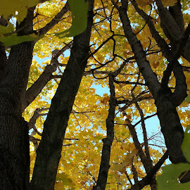 Through The Trees And Up To The Sky by Anne Johnson - Nature Up Close Trees & Bushes ( sky, canopy, color, fall, trees )