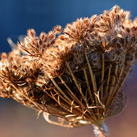 by Brian Lyne - Nature Up Close Other plants ( nature, blue, white, plants, brown, dead flower, natural )