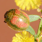 Leaf Beetle on wattle