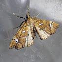Bracken Moth