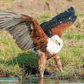 Fish eagle landing by Joss van Wyk - Animals Birds ( water, chobe, botswana, fish eagle, africa )
