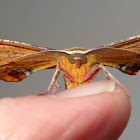 Bright Twisted moth (♂)