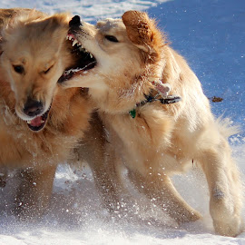 Snow buddies by Neil Storey - Animals - Dogs Playing